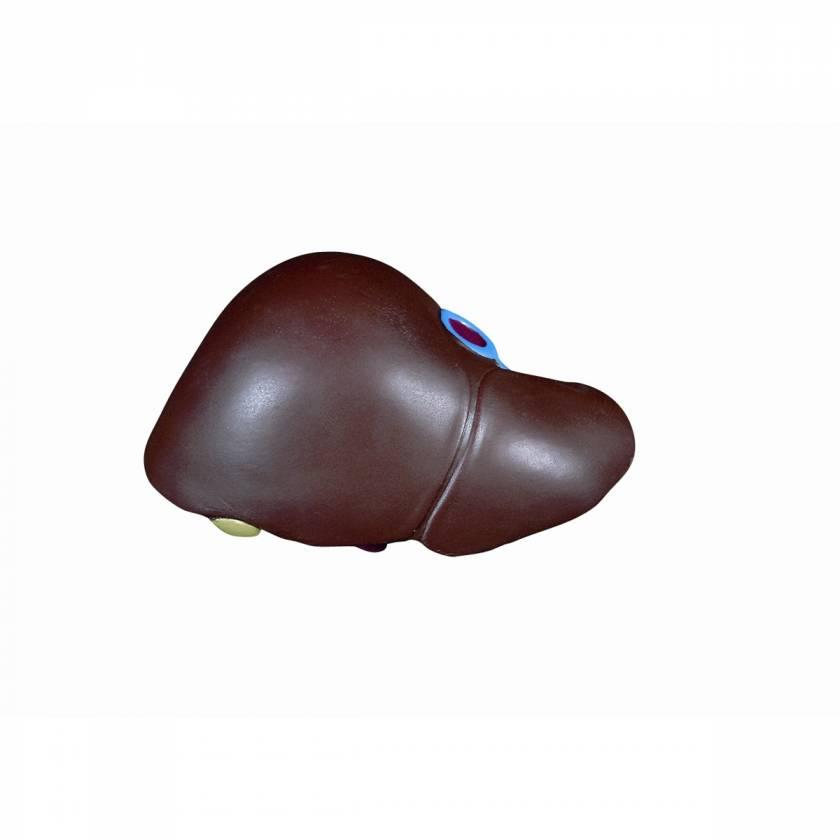 Torsos: Liver w/ Gall Bladder