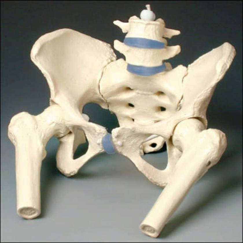 Female Pelvis Model without Femur Heads