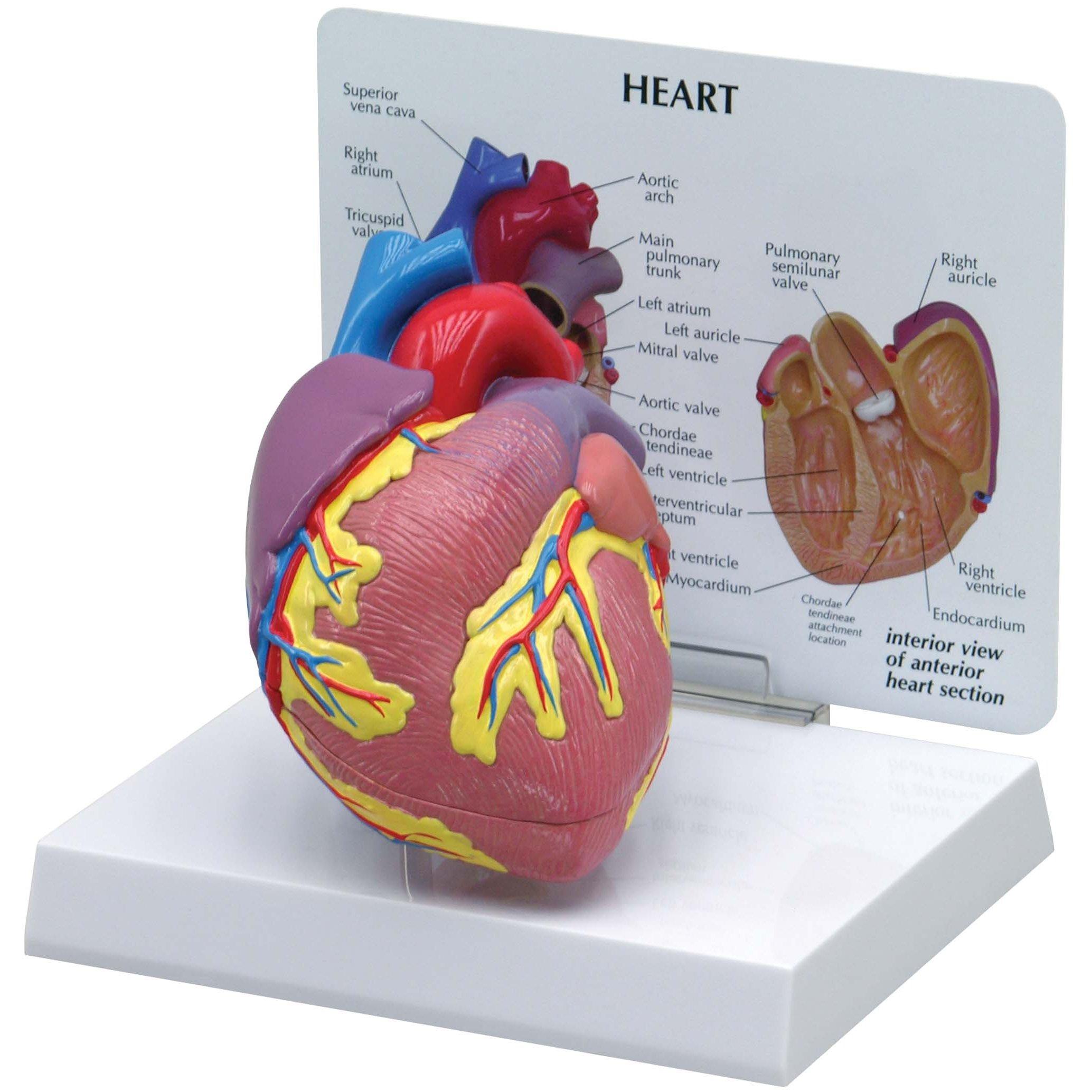 GPI 2500 Heart Model