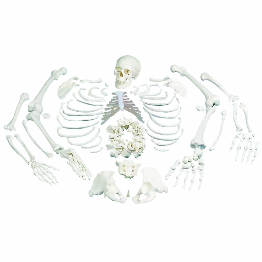 Disarticulated Full Skeleton with 3 Part Skull