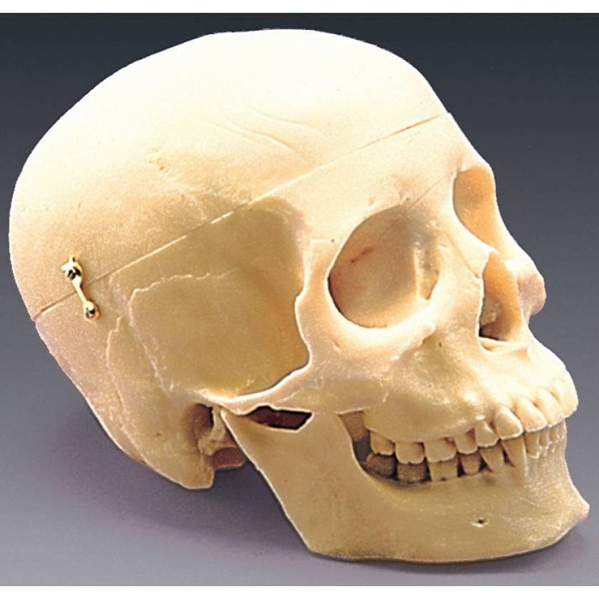 First Class Human Skull