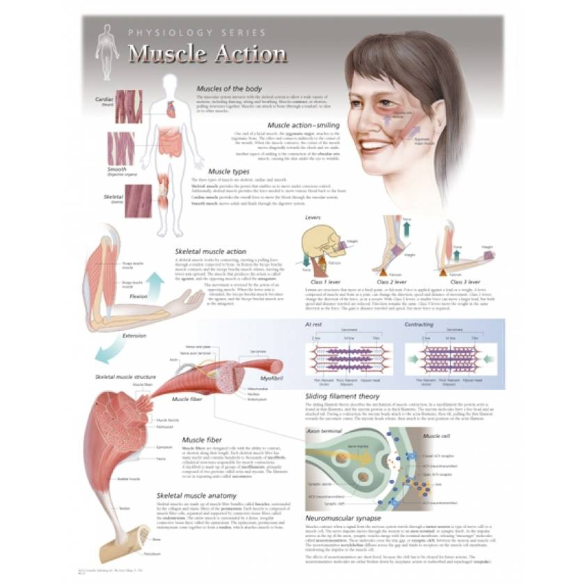 Muscle Action Laminated