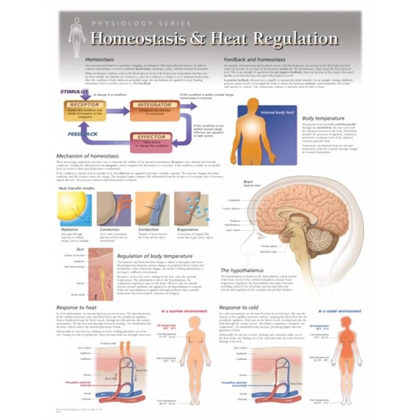 Homeostasis & Heat Regulation Laminated
