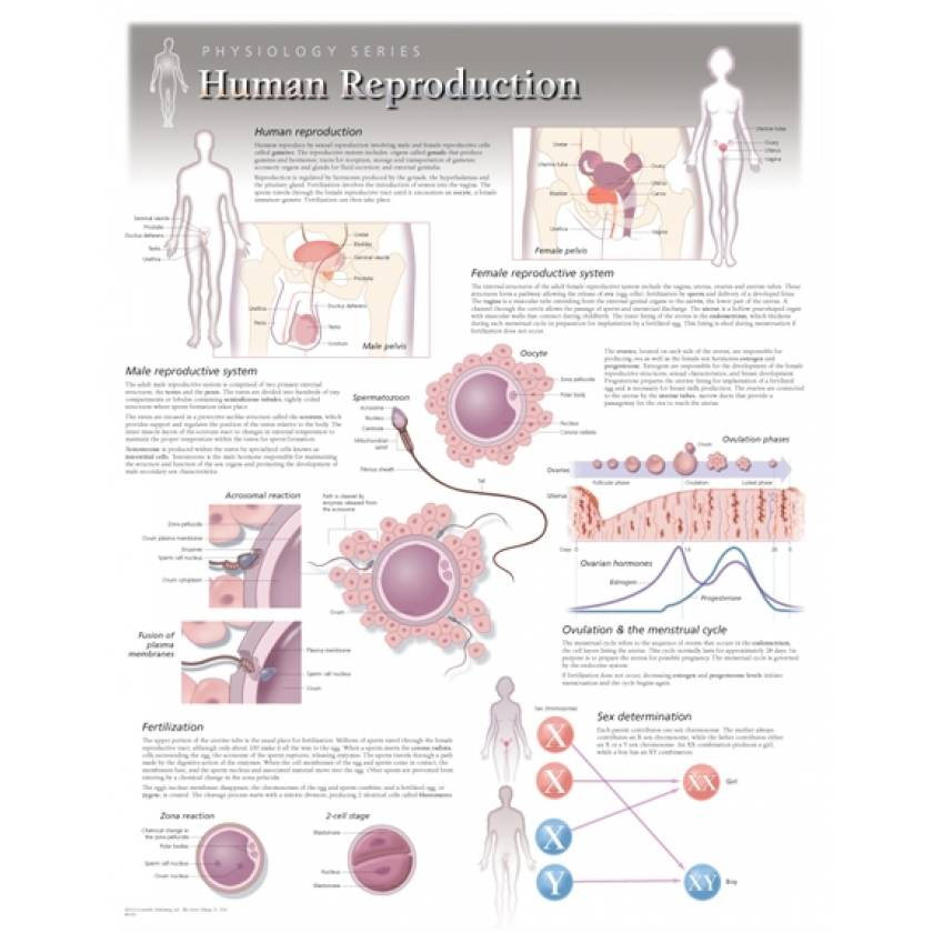 Human Reproduction Laminated