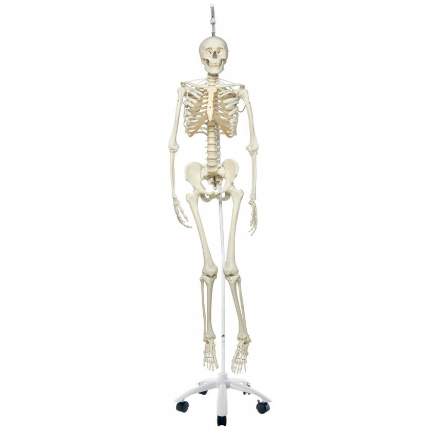 Frank the Functional Flexible Skeleton on Hanging Roller Stand