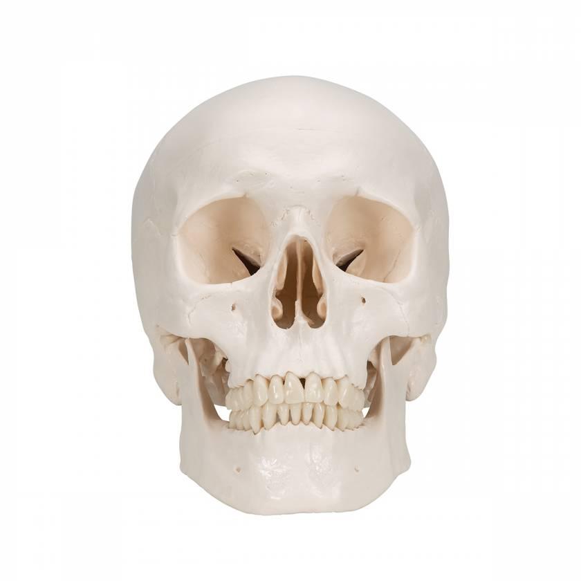 3B Scientific A20 Classic Human Skull (3-Part)