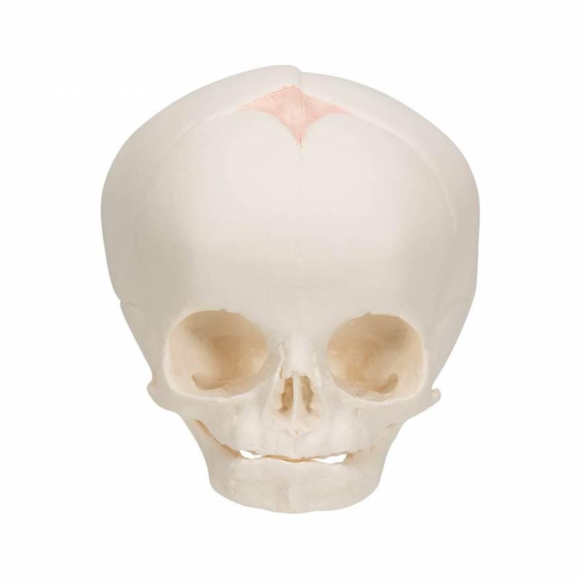3B Scientific A25 Fetal Skull - 30th Week of Pregnancy - 3B Smart Anatomy