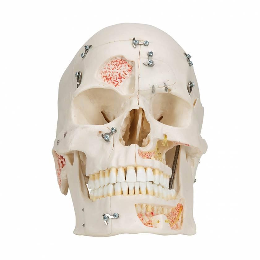 3B Scientific A27 Deluxe Human Demonstration Skull (10-Part)