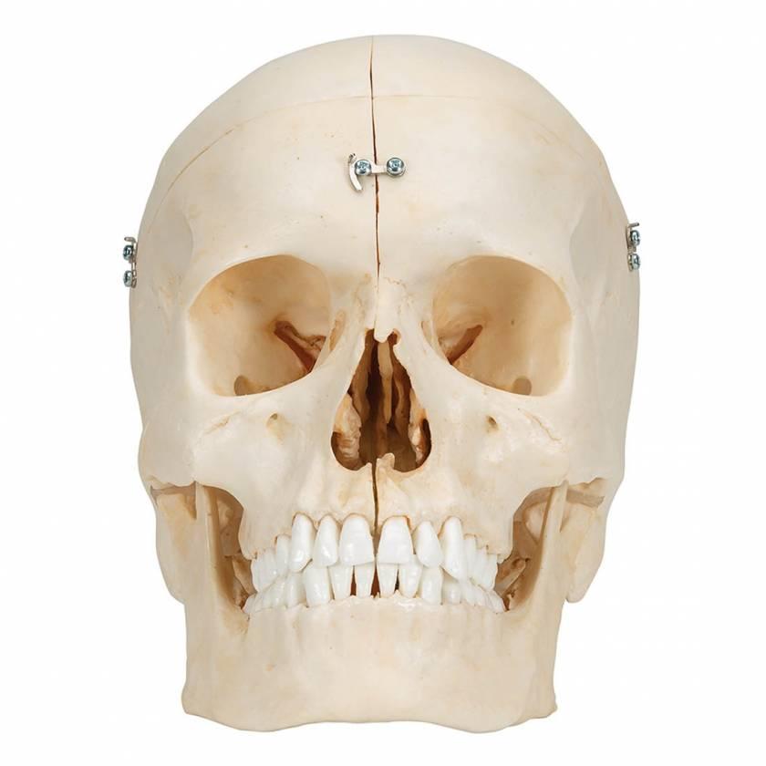 3B Scientific A281 BONElike Human Bony Skull (6-Part) - 3B Smart Anatomy