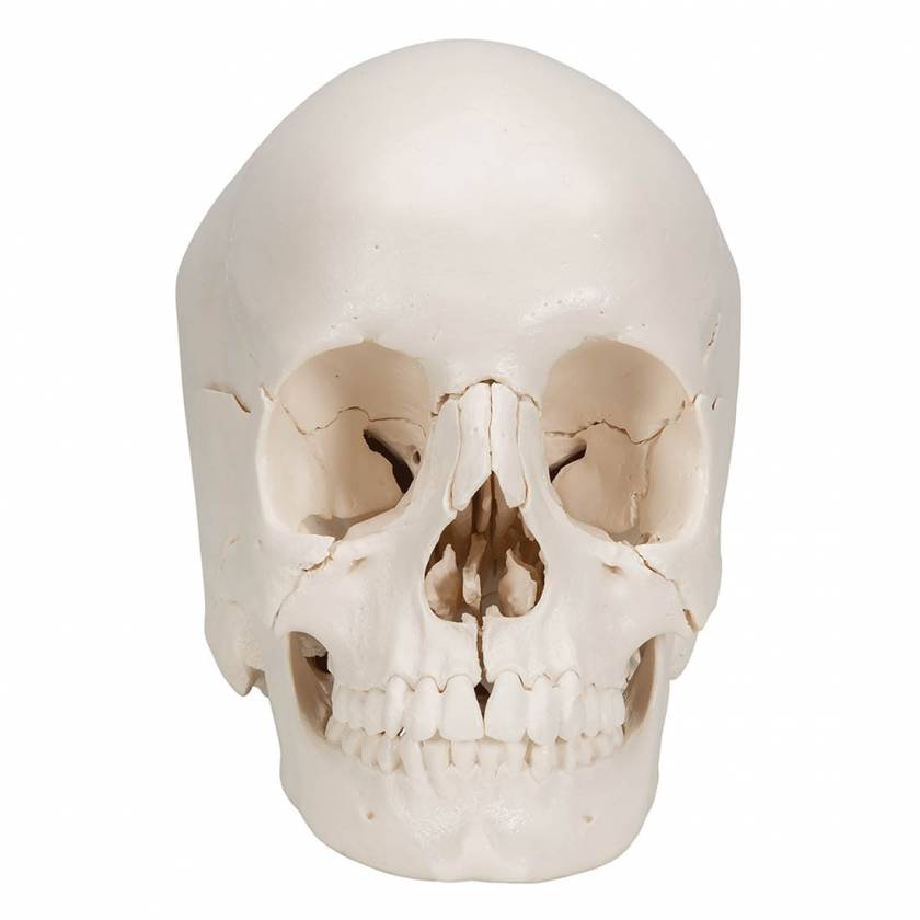 3B Scientific A290 Beauchene Adult Human Skull Kit - Natural Bone Color (22-Part) - 3B Smart Anatomy