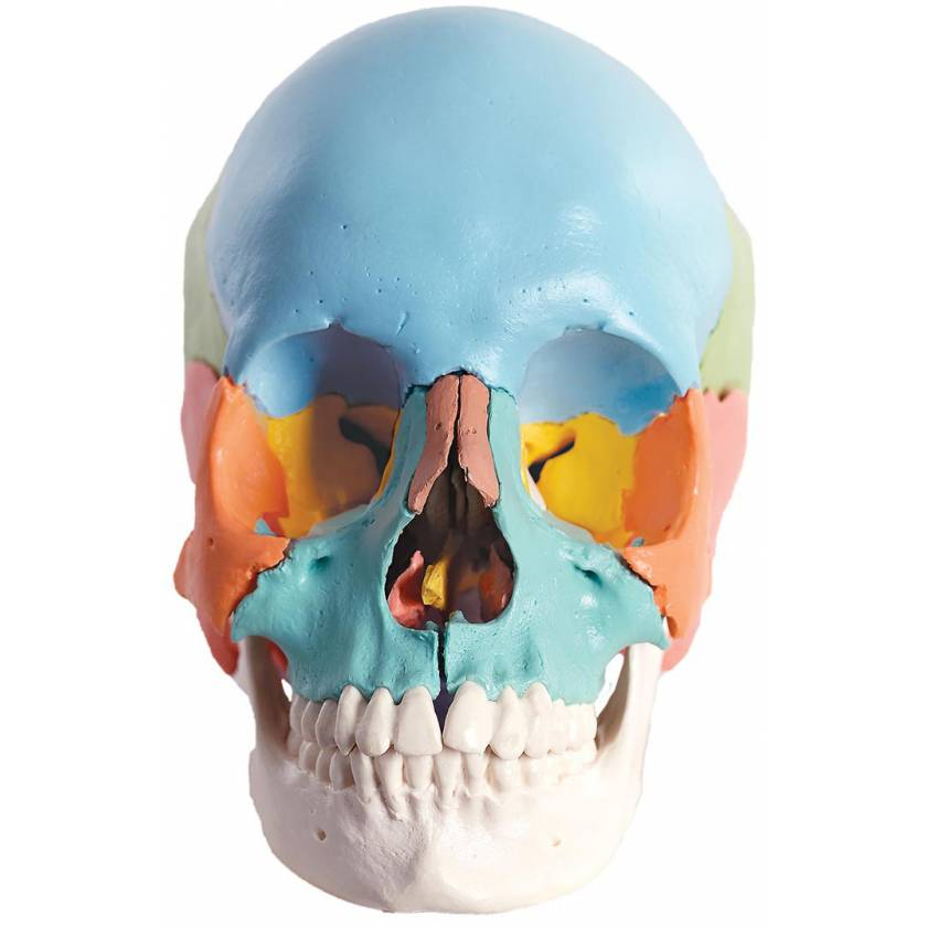 3B Scientific A291 Beauchene Adult Human Skull Kit - Didactic Color Coded (22-Part) - 3B Smart Anatomy