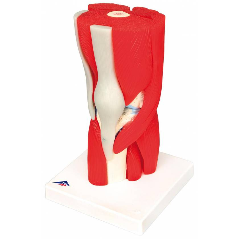 Knee Joint with Removable Muscles 12-Part