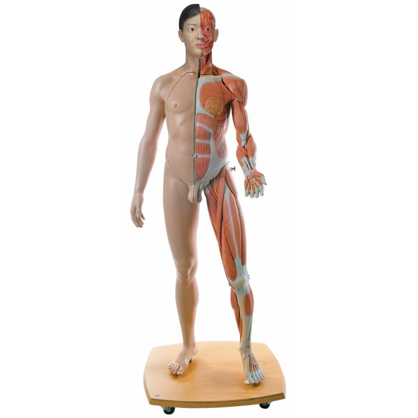 Life-Size Dual Sex Asian Muscular Figure 39-Part