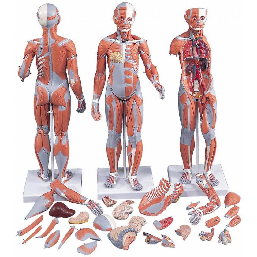 1/2 Life-Size Complete Dual Sex Muscle Figure With Internal Organs 33-Part