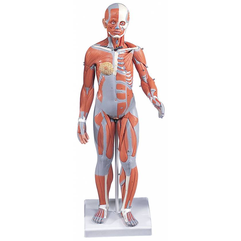 1/2 Life-Size Complete Female Muscular Figure 21-Part
