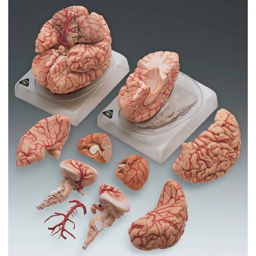 Deluxe Brain Model With Arteries