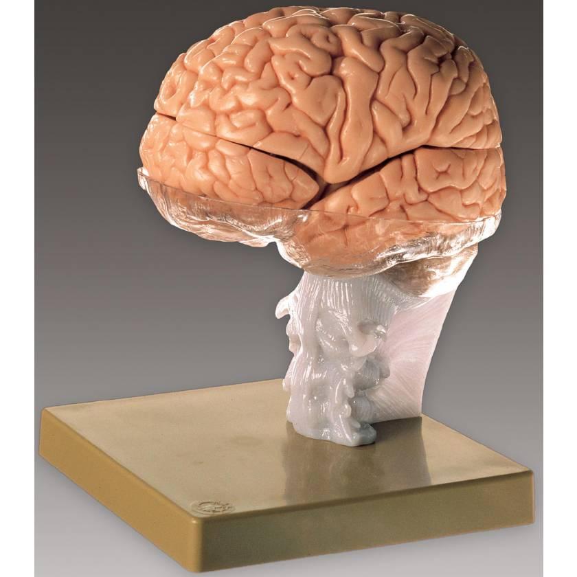 Brain Demonstration Model