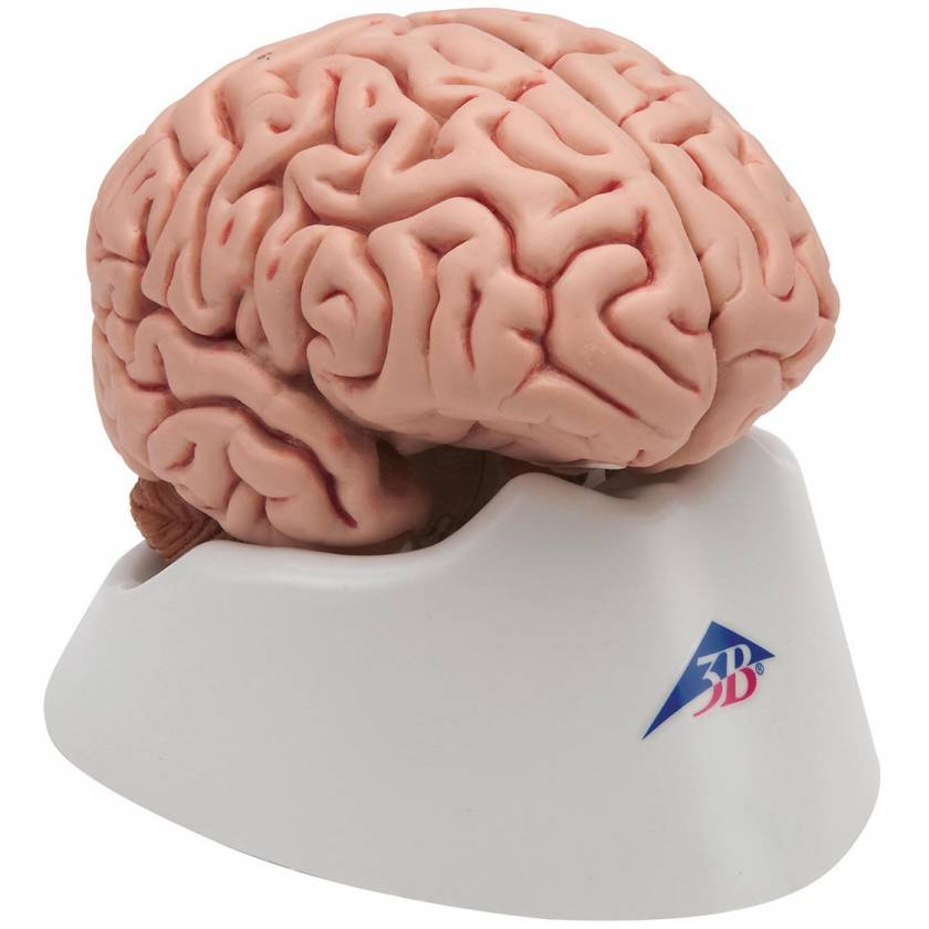 Classic Brain Model 5-Part