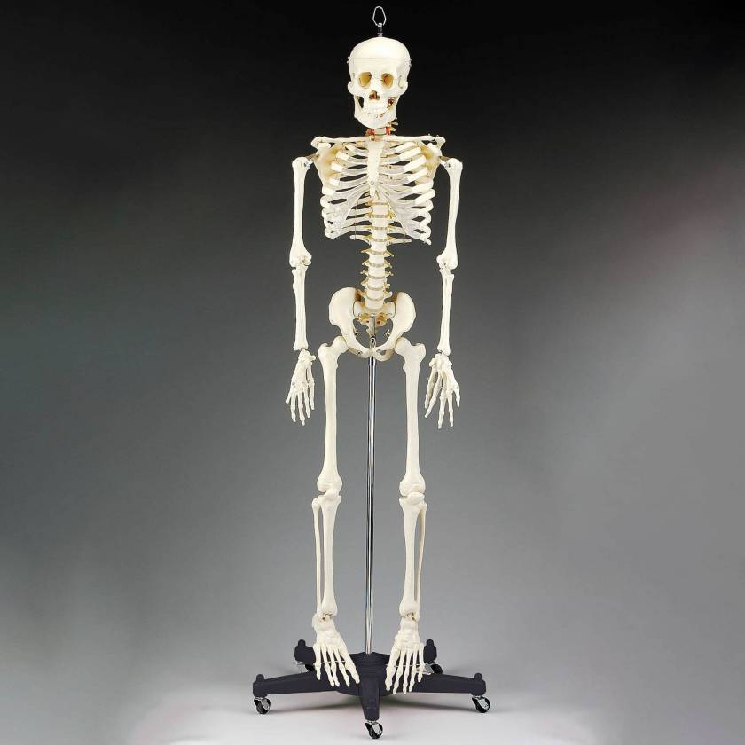 CH95 Budget Bart Skeleton with Roller Stand