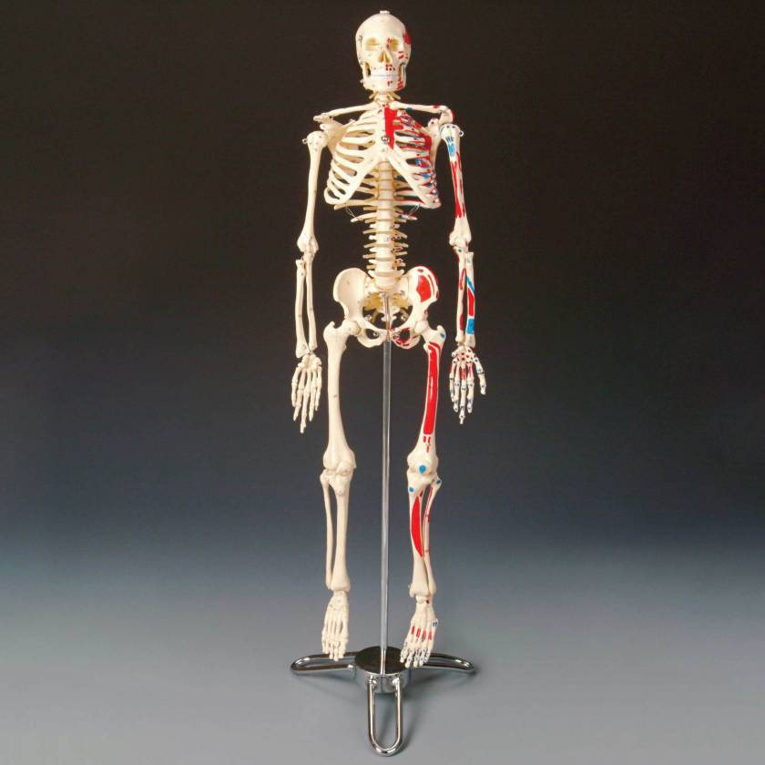 CMS65 Painted and Numbered Big Tim Skeleton with Stand