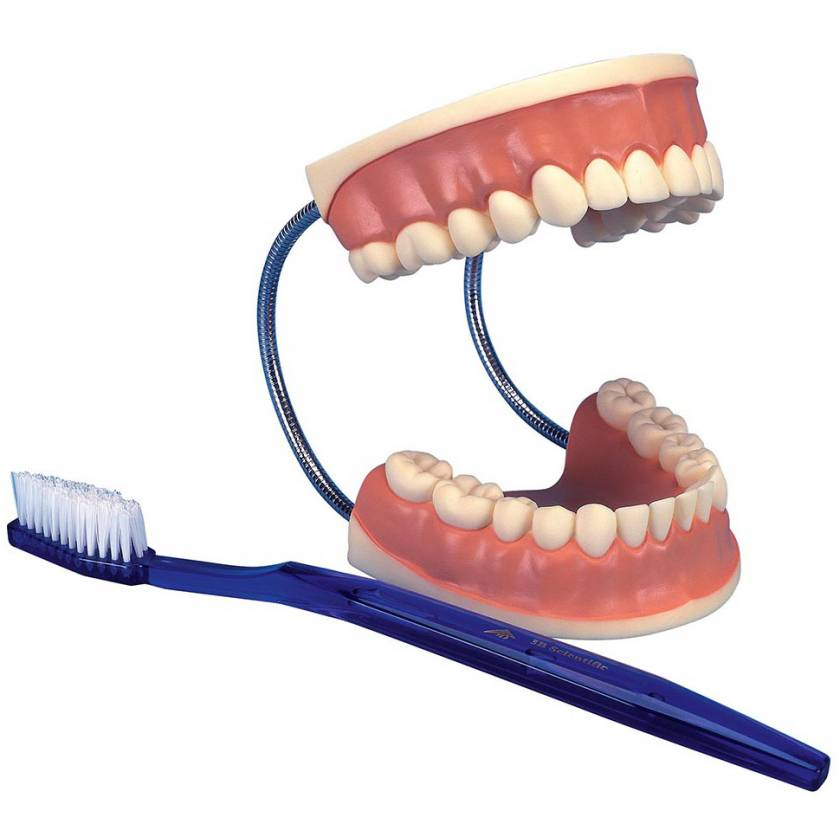 Giant Dental Care Model - 3 Times Life-Size