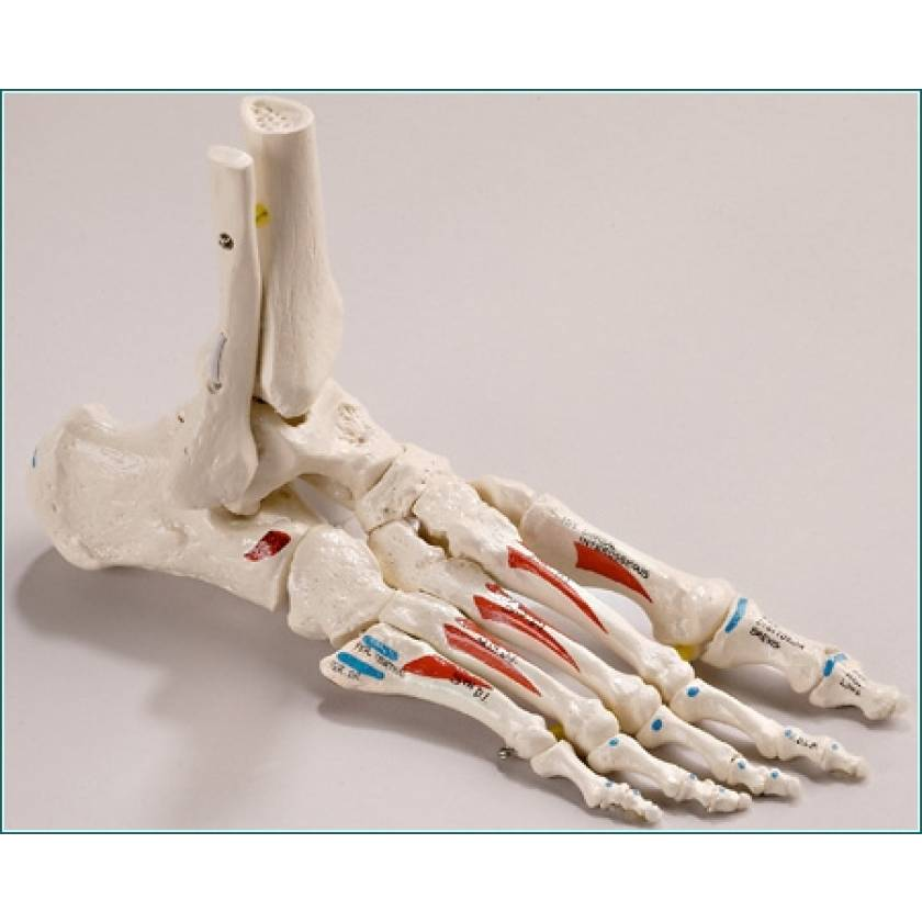 Premier Elastic Mounted-Foot with Distal Tibia & Fibula - Painted & Labeled Muscle Attachments