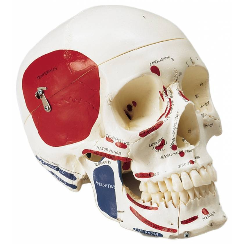 Premier Skull - Painted and Labeled Muscle Attachments