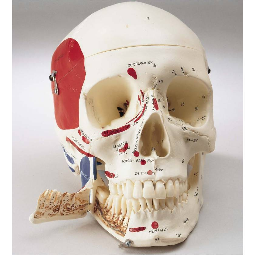 Premier Demonstration Skull - Painted and Labeled Muscle Attachments