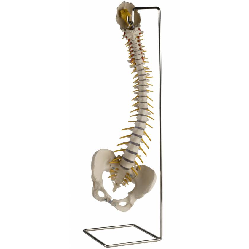 Flexible Spine with Female Pelvis without Femur Heads