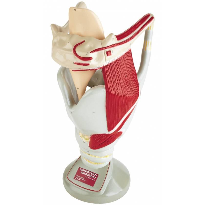 Functional Larynx Teaching Model