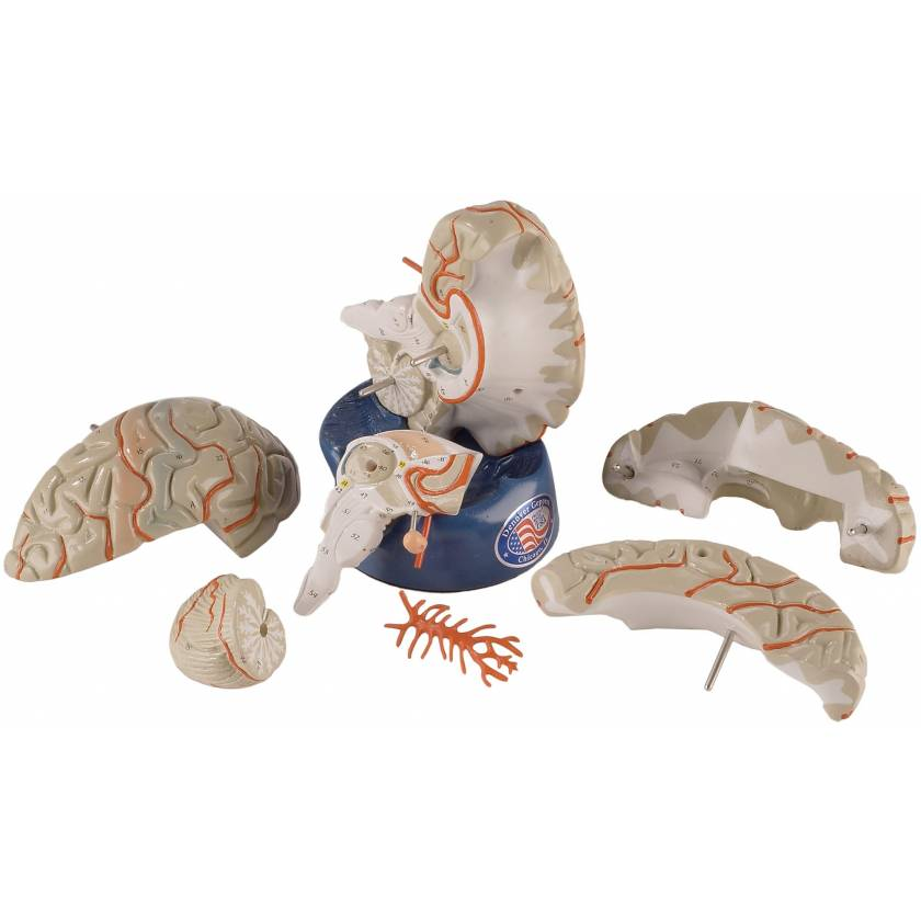 Deluxe Eight-Part Brain with Arteries Model