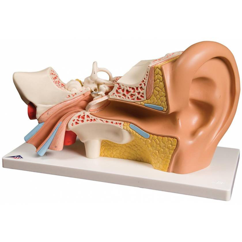 Ear Model 4-Part 3 Times Life-Size