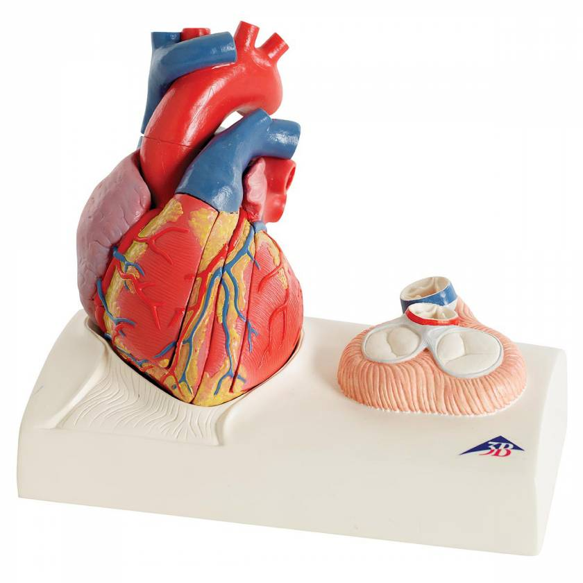Heart Model - Natural Size