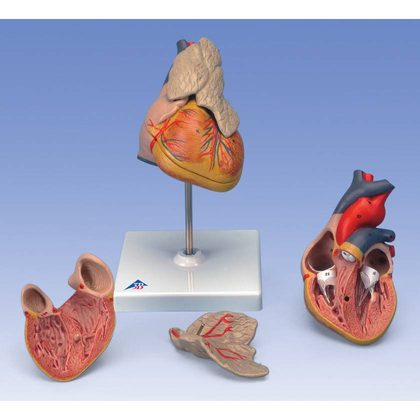 Classic Heart Model with Thymus 3-Part