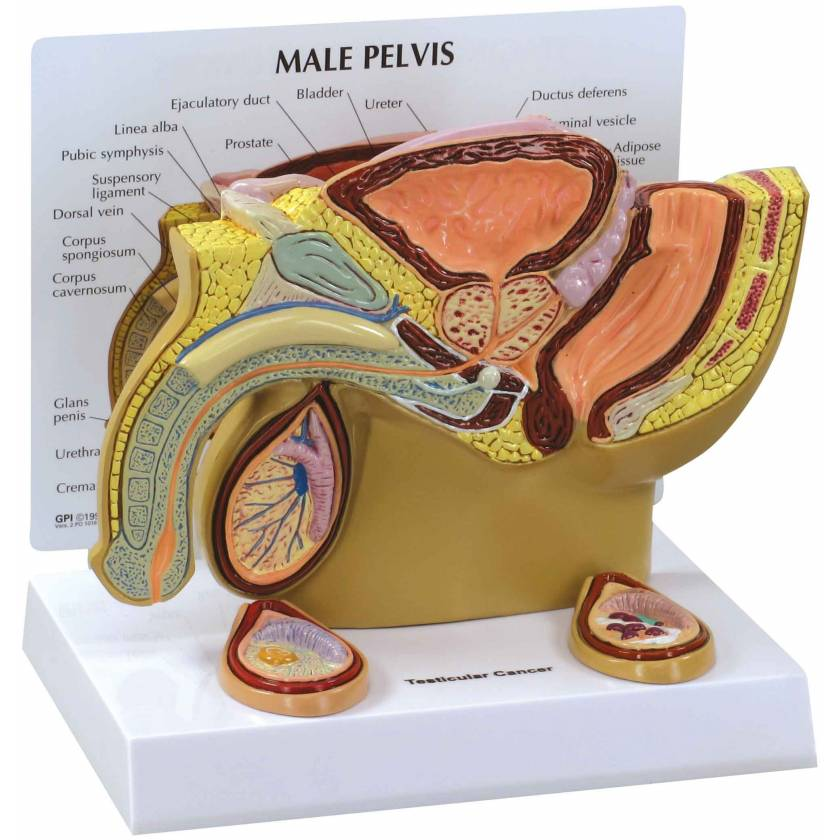 Male Pelvis Cross Section with Separate Cancerous Testicles Model