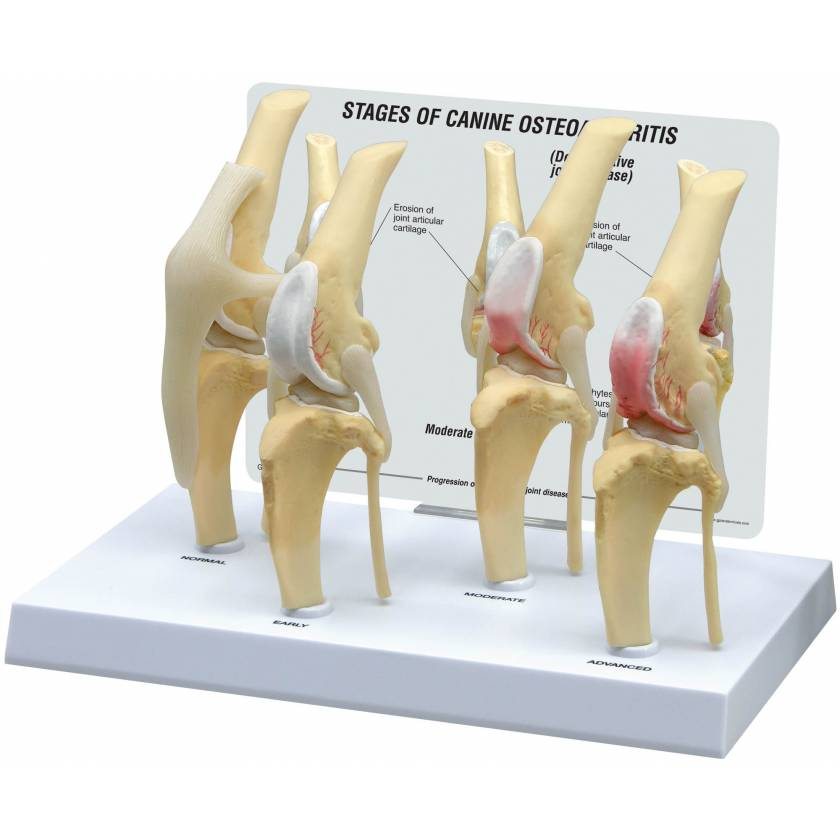 Canine 4-Stage Knee Model