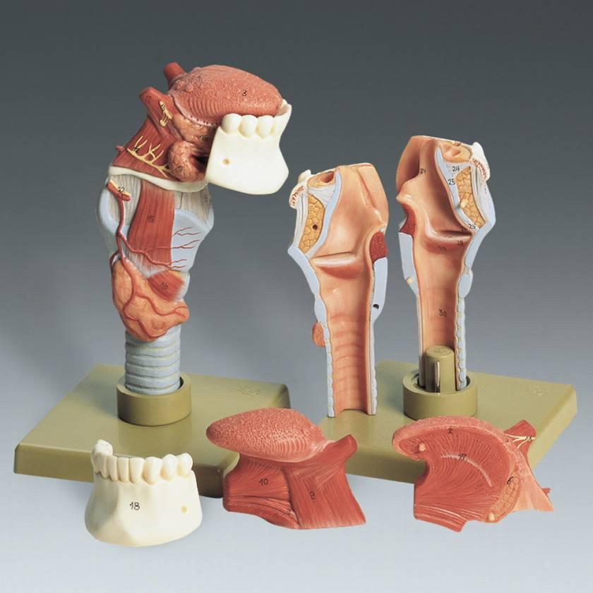 Human Larynx with Tongue Model