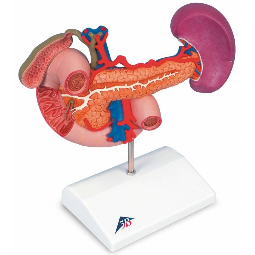Rear Organs Of The Upper Abdomen Model