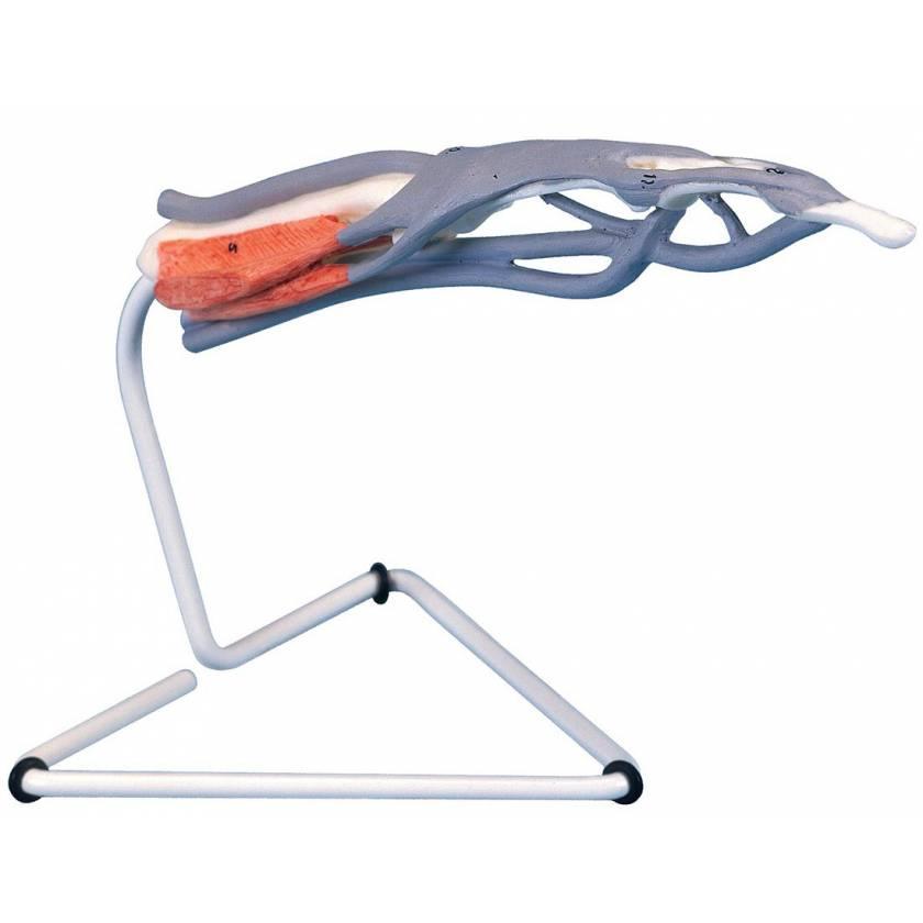 Internal Finger Structure Model