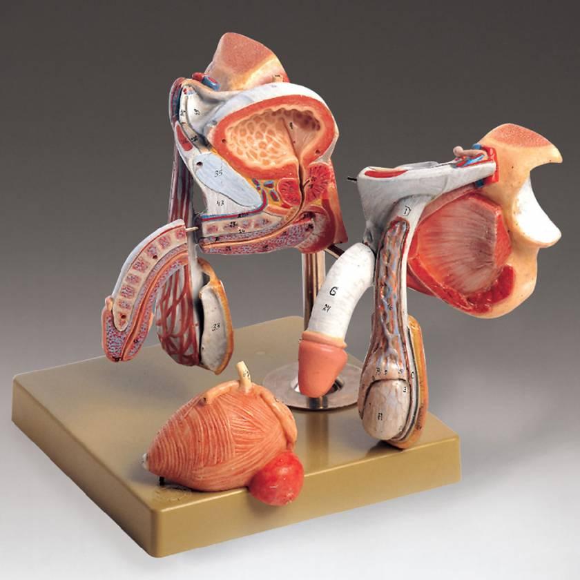 Male Genital Organs