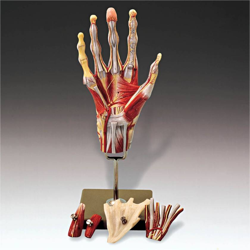 NS13 Muscles of the Hand Model