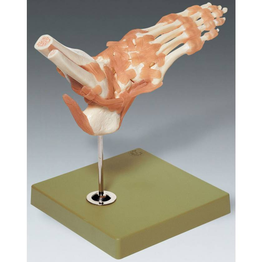 Functional Model of the Foot and Ankle