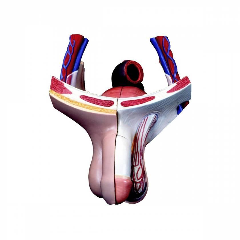 Male Genital Insert 4-Parts Torso-Replacement Penis