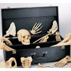 Case For Disarticulated Skeletons